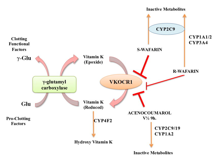 Mechanism of action and metabolism of Warfarin Adapted of Miranda et al 2011